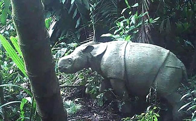 Two Rare Javan Rhino Calves Spotted In Indonesia