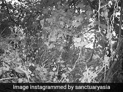 Can You Spot The Tiger In This Historic Image From Mizoram?