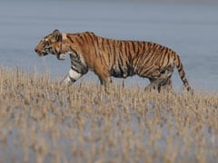 Collared In India, Tiger Travels 100 Km In 4 Months To Reach Bangladesh
