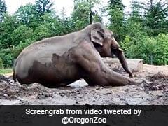 बारिश के बाद हुआ कीचड़, तो जमीन पर लेट गया हाथी, शख्स आया करीब, तो किया कुछ ऐसा - देखें मजेदार Video