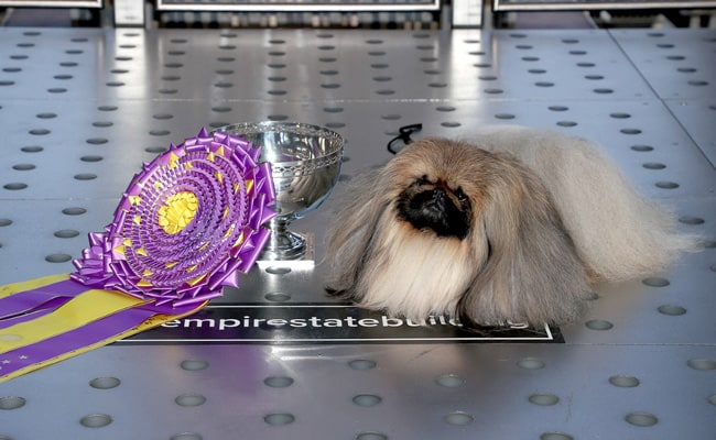 The Controversy Over 'Wasabi' The Pekingese Winning Westminster Dog Show