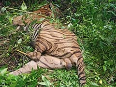 """Tiger Found Dead In Kaziranga, Official Says Died In """"Accidental Firing"""""""