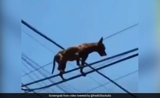 बिजली के तार पर चढ़कर मजे से वॉक कर रहा था कुत्ता, लोग बोले- ये है Super Dog, दिए मजेदार रिएक्शन – देखें Video