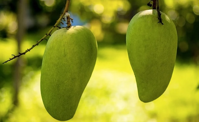This Mango Cultivated In Madhya Pradesh Costs Up To Rs 1,000 Apiece