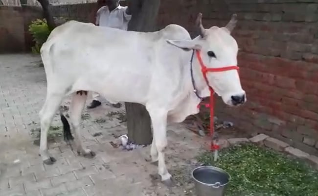 In Haryana, Farmers Bring Cow To Police Station As Fellow 'Protester'