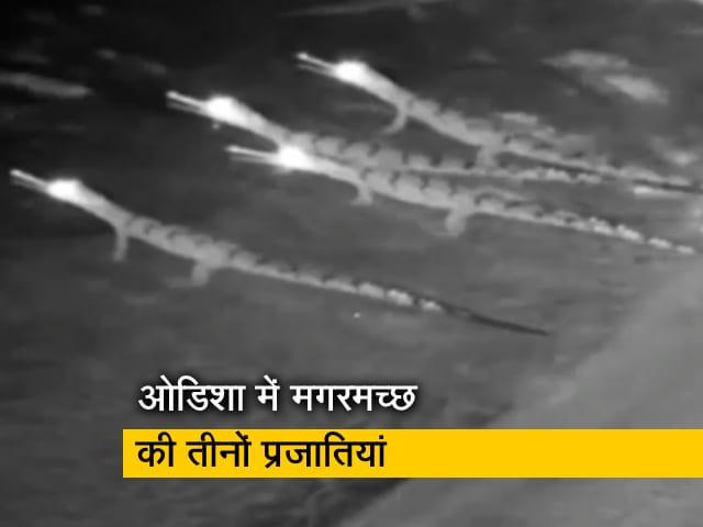 Video : ओडिशा एकमात्र ऐसा राज्य जहां मगरमच्छों की तीनों प्रजातियां
