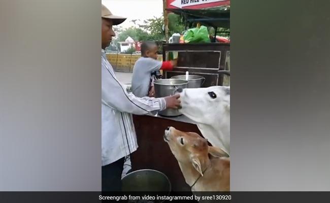गाय को गोलगप्पे खिला रहा था शख्स, सोशल मीडिया पर वायरल हुआ वीडियो, लोग बोले- 'दिलवाले अंकल' - देखें Video