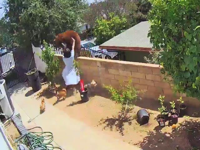 Video : Viral Video: Teen Pushes Bear Off Wall To Save Family Dog