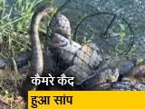 Video : मछुआरे के जाल में फंसी मछलियों को 'चुराने' की कोशिश करते कैमरे में कैद हुआ सांप