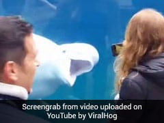 Watch: Beluga Whale's Priceless Reaction On Seeing Toy Whale In Girl's Hand