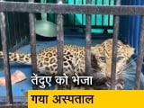 Video : महाराष्ट्र: वन विभाग के अधिकारियों ने घायल तेंदुए को बचाया