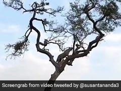 जब पेड़ पर चढ़े छोटे से बंदर ने खूंखार तेंदुए को छकाया - देखें Video