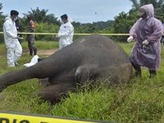 Critically Endangered Sumatran Elephant Found Beheaded In Indonesia