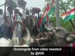 Video: Bullock Cart Carrying Protesting Maharashtra Congress Workers Collapses