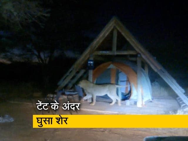 Videos : टेंट में घुसा शेर, फिर हुआ कुछ ऐसा.. देखें चौंका देने वाला नजारा
