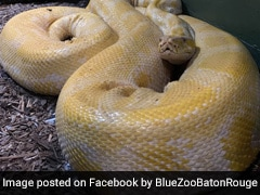 Video: 12-Foot Snake Escapes Zoo, Found In Shopping Mall After 2 Days