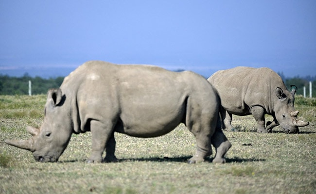 'To Save Iconic Species' Extinction': Scientists Create Northern White Rhino Embyros