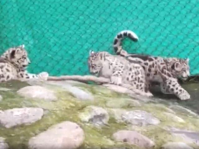 Video : Watch: Snow Leopard Cubs Play In Darjeeling Zoo