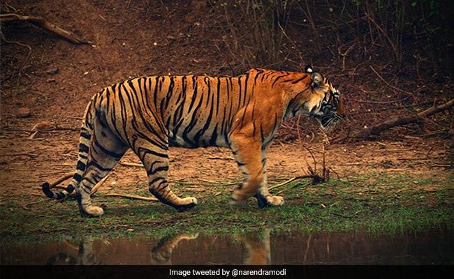 Assam's Tiger Population Jumps To 200 From 159 In 2018