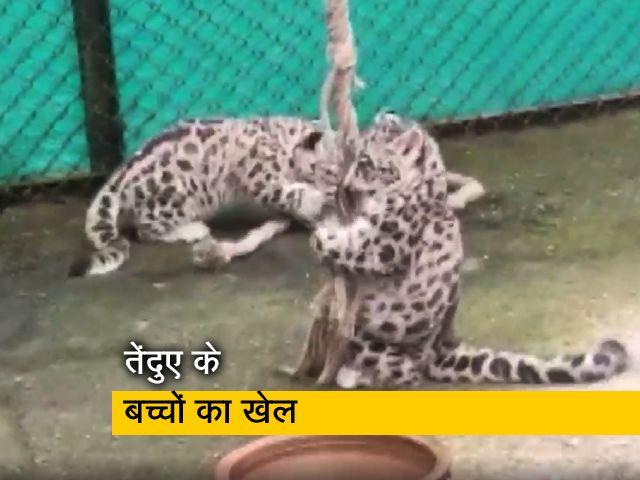 Videos : पश्चिम बंगाल के दार्जिलिंग चिड़ियाघर में तेंदुए के बच्चों का खेल