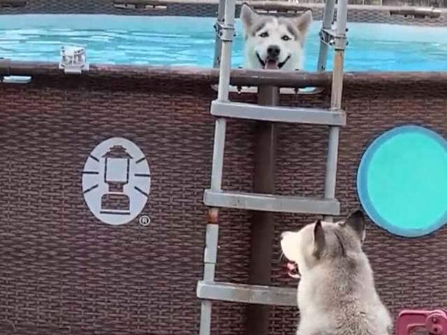 Videos : कुत्तों ने स्विमिंग पूल में ऐसी की मस्ती