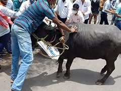 Buffalo Brought To Protest Site Goes On The Rampage, 1 Injured