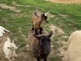 Video: छोटी भेड़ों ने एक दूसरे के ऊपर चढ़कर ऐसे की मस्ती