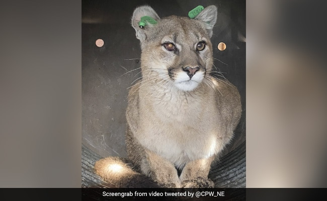 Couple Find Mountain Lion Hiding Under Their Home's Deck