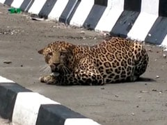 Spotted: Leopard Resting At Side Of 4-Lane Highway In Madhya Pradesh
