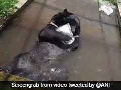 Watch: Himalayan Black Bear Plays With Block Of Ice To Beat The Heat