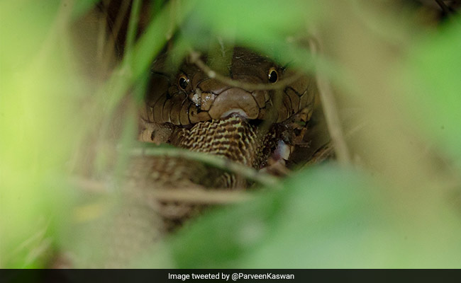 This Rare Photo Of One Cobra Eating Another Is Going Viral