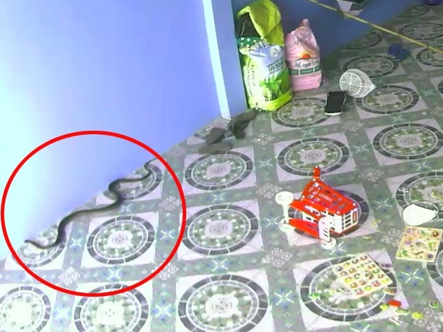 Video : King Cobra Tries To Follow Child Indoors In Hair-Raising Video