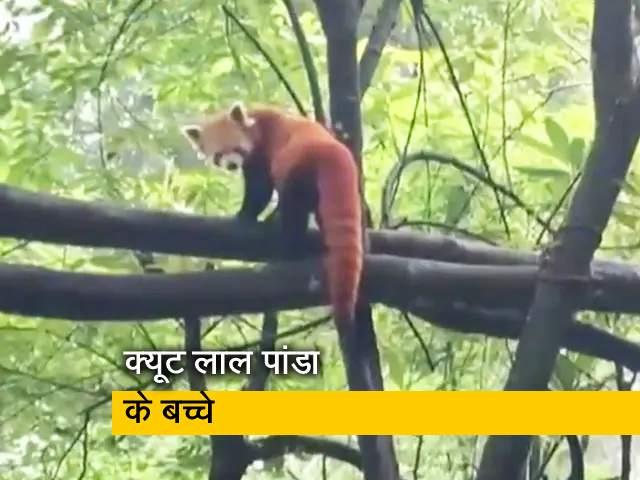 Video : दार्जलिंग के जू़लॉजिकल पार्क में लाल पांडा ने दो बच्चों को दिया जन्म