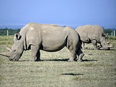 """""""To Save Iconic Species' Extinction"""": Scientists Create Northern White Rhino Embyros"""