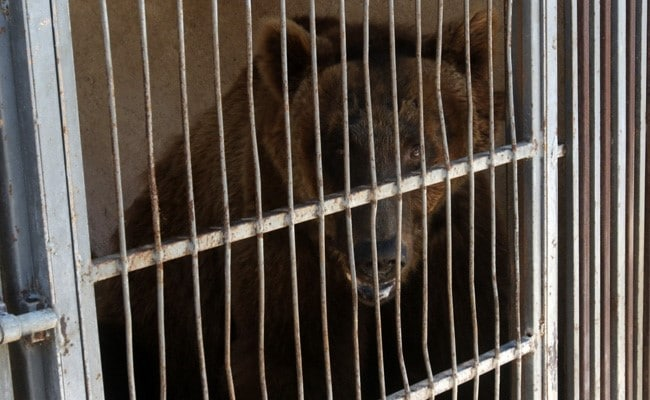 '...Deserve Better Than Small Cages': Two Bears Head For US From Crisis-Hit Lebanon