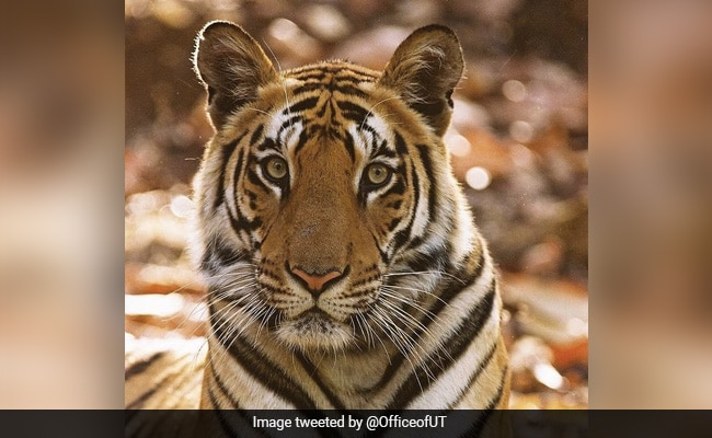On Tiger's Day, Uddhav Thackeray's Big Cat Clicks Are A Delight To Watch
