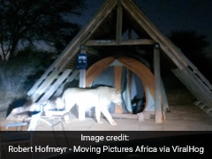 Watch: Lion Climbs Into Campers' Tent. Then...