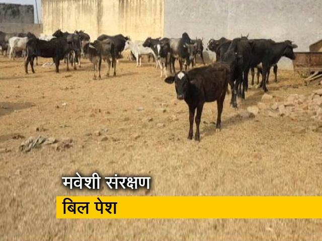 Video : 'हिंदू इलाकों  में नहीं बेचा जा सकेगा बीफ' : असम में मवेशी संरक्षण बिल पेश