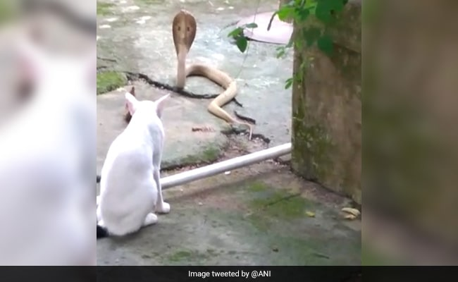 Pet Cat Stands Guard Outside Odisha House To Prevent Cobra From Entering