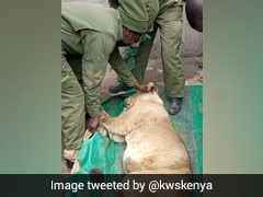 Watch: Lion Strays Outside Kenya's Nairobi National Park, Captured