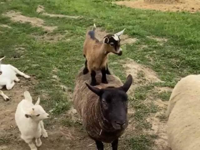 Videos : छोटी भेड़ों ने एक दूसरे के ऊपर चढ़कर ऐसे की मस्ती