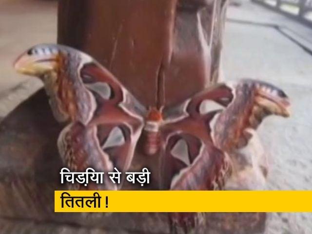 Videos : उत्तराखंड में दिखी दुनिया की सबसे बड़ी तितली स्नैक बटरफ्लाई