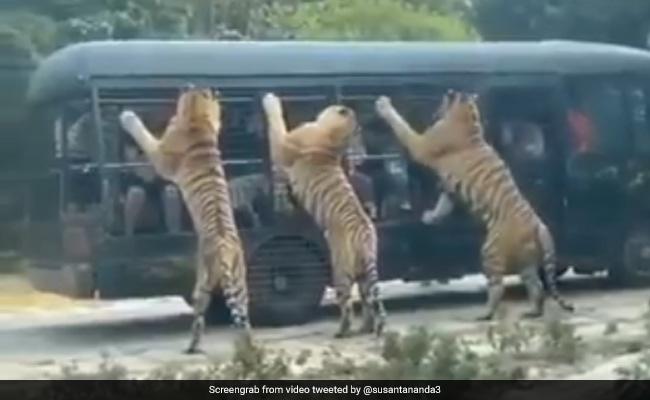 गाड़ी के अंदर बैठे थे टूरिस्ट, कुछ ही देर में तीन बाघों ने घेर ली पूरी गाड़ी और फिर किया कुछ ऐसा – देखें Shocking Video