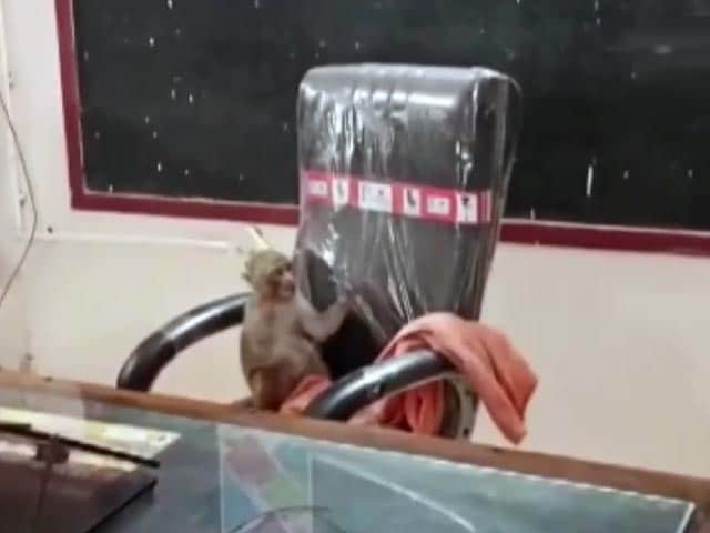 Video : Viral Video: Monkey Takes Over Principal's Chair In Gwalior School