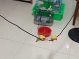 Video: चिड़िया ने घर में लटक रहे तार को बना लिया अपना झूला