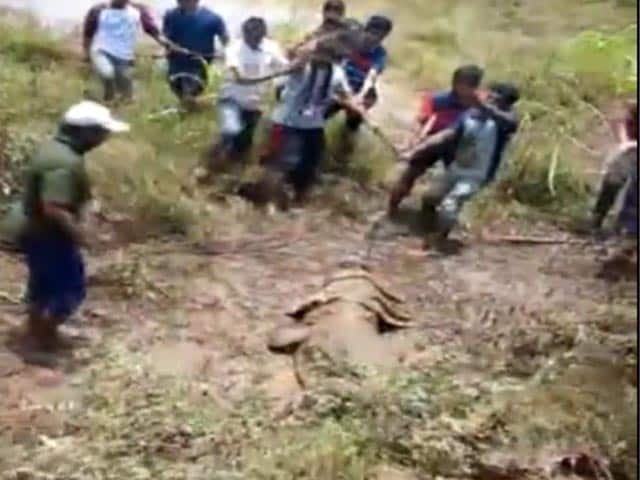 Video : 12-Foot Crocodile Rescued By Locals In Maharashtra's Sangli