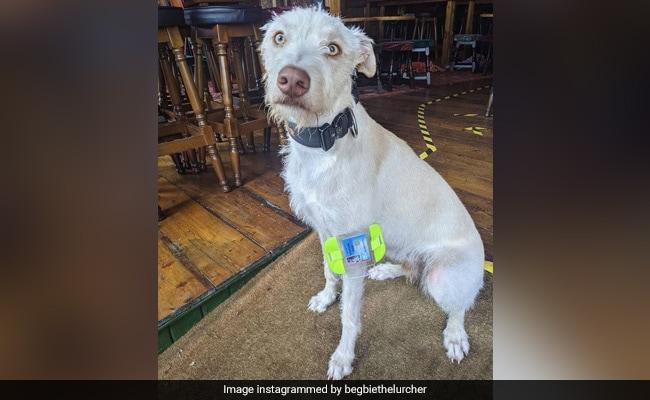 'Door Supervisor' की नौकरी करता है ये कुत्ता, Viral हुआ ID Card, लोग बोले-