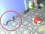 Video: King Cobra Tries To Follow Child Indoors In Hair-Raising Video