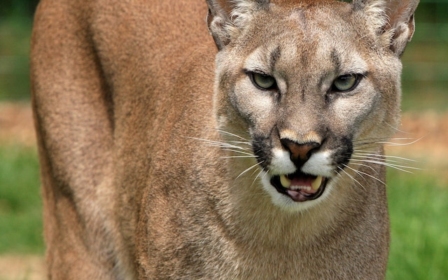 Mother Fights Off Mountain Lion With Bare Hands To Save Her 5-Year-Old