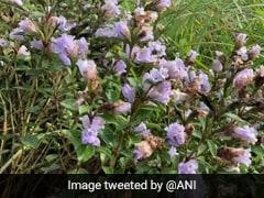 Watch: Neelakurinji Flowers That Bloom Once In 12 Years Blossom In Kerala